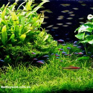 Cỏ thủy Sinh: Cỏ Đỏ dùng để trải nền cực đẹp